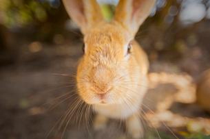 ウサギ島のウサギの写真素材 [FYI01747983]
