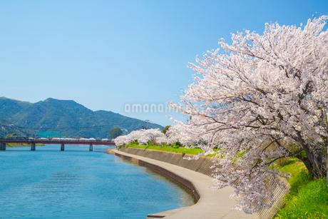橋本川沿いの桜並木の写真素材 [FYI01748195]