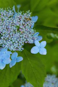 紫陽花の写真素材 [FYI01748506]