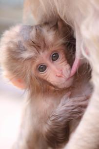 日本ザルの赤ちゃんの写真素材 [FYI01748700]