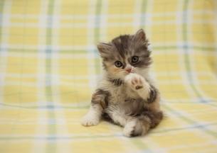 手をなめる子猫の写真素材 [FYI01748706]