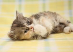 手をなめる猫の写真素材 [FYI01748733]