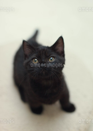 見つめる黒猫の写真素材 [FYI01748744]