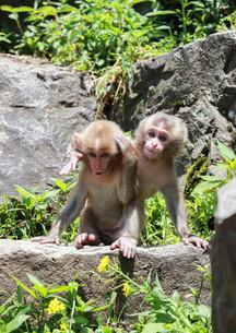 日本サルの写真素材 [FYI01748751]