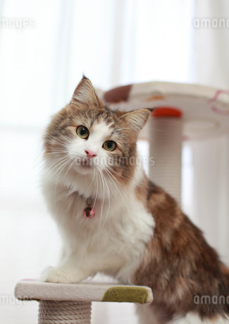 見つめる猫の写真素材 [FYI01748757]