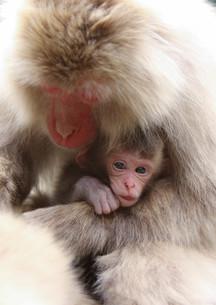 日本ザルの親子の写真素材 [FYI01748769]