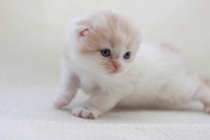みつめる子猫の写真素材 [FYI01748808]