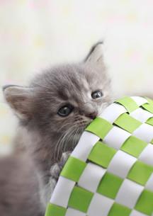 見つめる子猫の写真素材 [FYI01748822]