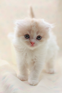 みつめる子猫の写真素材 [FYI01748839]