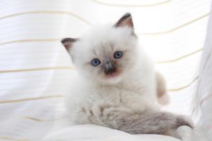 みつめる子猫の写真素材 [FYI01748840]