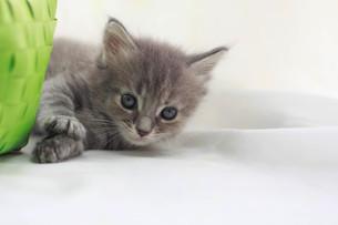 みつめる子猫の写真素材 [FYI01748924]