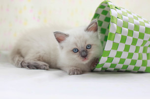 かご猫の写真素材 [FYI01748940]