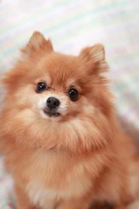 見つめる犬の写真素材 [FYI01748966]