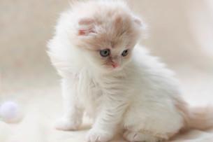 みつめる子猫の写真素材 [FYI01748972]