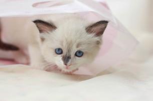 みつめる子猫の写真素材 [FYI01748984]