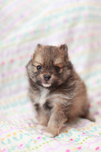 見つめる子犬の写真素材 [FYI01749114]