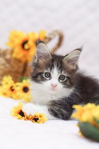 ひまわりと子猫の写真素材 [FYI01749117]