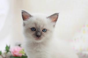 みつめる子猫の写真素材 [FYI01749131]
