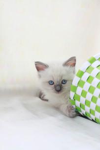 みつめる子猫の写真素材 [FYI01749157]
