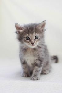 みつめる猫の写真素材 [FYI01749161]