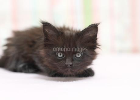 メインクーン 黒の写真素材 [FYI01749168]