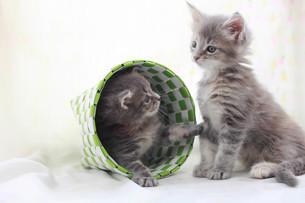 兄弟猫の写真素材 [FYI01749177]