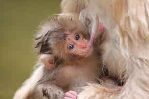 乳を飲む子ザルの写真素材 [FYI01749208]