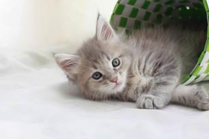 みつめる子猫の写真素材 [FYI01749225]