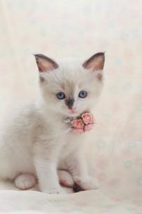 みつめる子猫の写真素材 [FYI01749227]
