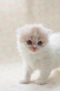 みつめる子猫の写真素材 [FYI01749260]