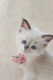 みつめる子猫の写真素材 [FYI01749264]