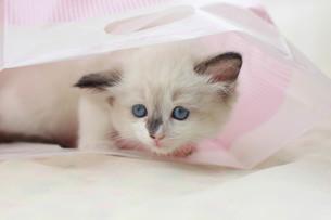 みつめる子猫の写真素材 [FYI01749394]