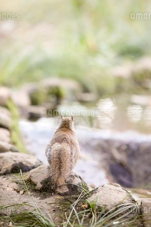 日本リスの写真素材 [FYI01749409]