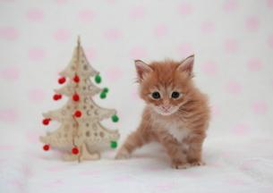 クリスマスと猫の写真素材 [FYI01749478]