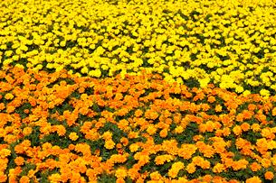 黄色とオレンジ色のマリーゴールドの写真素材 [FYI01749655]