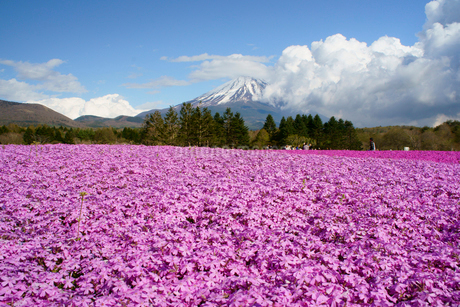 富士山と芝桜の写真素材 [FYI01749707]