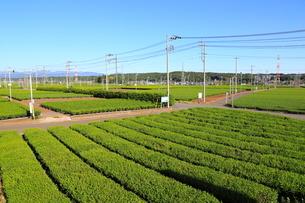 広大な茶畑の写真素材 [FYI01749712]
