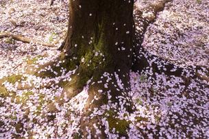 散り桜のじゅうたんの写真素材 [FYI01749731]