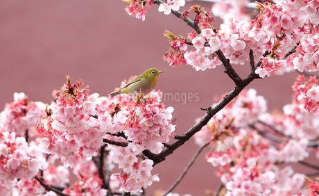 あたみ桜とメジロの写真素材 [FYI01750133]
