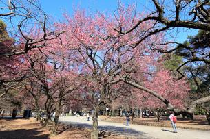 大宮公園の紅梅の写真素材 [FYI01750240]