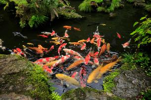 エサに群がる池の鯉の写真素材 [FYI01750552]