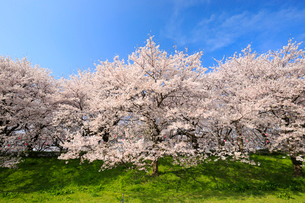 満開の桜並木と青空の写真素材 [FYI01750579]