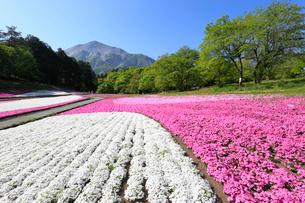 羊山公園 芝桜の丘と武甲山の写真素材 [FYI01750645]