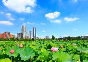 上野 不忍池と蓮の写真素材 [FYI01750705]