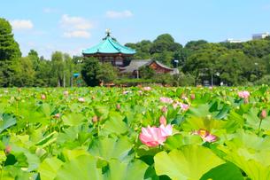 上野 不忍池と蓮の写真素材 [FYI01750743]