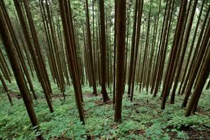 林立する杉の写真素材 [FYI01750758]