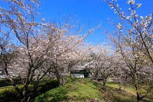 龍岡城五稜郭の桜の写真素材 [FYI01750795]