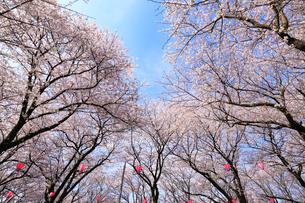 満開の桜並木と青空の写真素材 [FYI01750815]