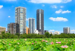 上野 不忍池と蓮の写真素材 [FYI01750854]