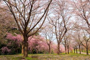高尾さくら公園の写真素材 [FYI01750905]